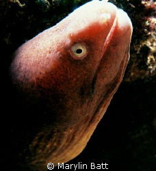 Small Moray posing.  Nikonos V 1:2 Macro extension tube by Marylin Batt 